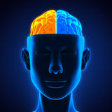 Mensch Brain Anatomy vektor abbildung