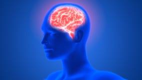 Mensch Brain Anatomy Stockfoto