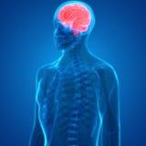 Mensch Brain Anatomy lizenzfreie abbildung