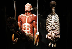 Menschen Museum (human museum). JANUARY 17, 2015 - BERLIN: a fully plastinated human body in the newly opened Menschen Museum (human museum) with plastinated Stock Photo