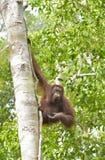 Menschenaffe auf dem Baum Zentrales Bornean-Orang-Utan Pongo pygmaeus wurmbii im natürlichen Lebensraum Wilde Natur im tropischen Lizenzfreies Stockbild