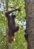 Menschenaffe auf dem Baum Zentrales Bornean-Orang-Utan Pongo pygmaeus wurmbii im natürlichen Lebensraum Wilde Natur im tropischen Lizenzfreies Stockfoto