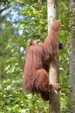 Menschenaffe auf dem Baum Zentrales Bornean-Orang-Utan Pongo pygmaeus wurmbii im natürlichen Lebensraum Wilde Natur im tropischen Stockfotografie
