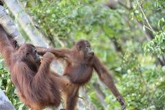 Menschenaffe auf dem Baum Zentrales Bornean-Orang-Utan Pongo pygmaeus wurmbii im natürlichen Lebensraum Wilde Natur im tropischen Stockbild