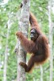 Menschenaffe auf dem Baum Zentrales Bornean-Orang-Utan Pongo pygmaeus wurmbii im natürlichen Lebensraum Wilde Natur im tropischen Stockbilder