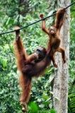 Menschenaffen hängen zwischen Niederlassungen des Baums im Wald Stockfoto