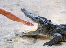 Menschlich dehnen Sie heraus den Arm in Krokodilmund aus Lizenzfreies Stockfoto