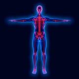 Menschliche Anatomie Lizenzfreie Stockbilder