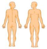 Menschliche Anatomie Lizenzfreies Stockfoto