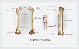 Menschliche Anatomie-Bein-Knochen mit Detail stock abbildung