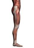 Menschliche Anatomie - männliche Muskeln Stockbild