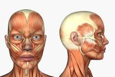 Menschliche Anatomie - Muskeln des Gesichtes stock abbildung