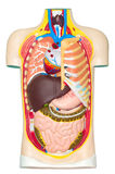Menschliche Anatomieattrappe Stockfotos