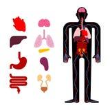 Menschliche Anatomieorgane intern Systeme des Mannkörpers und -organe M stock abbildung