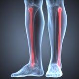 Menschliche Bein-Gelenkschmerzen (Wadenbein-Gelenk) stock abbildung