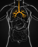 Menschliche Bronchus-Anatomie Stockbilder