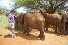 Menschliche Gesellschaft Hauptgeschäftsführer Officer, Wayne Pacelle, angenommene Baby-afrikanische Elefanten bei David Sheldrick Stockfoto