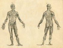 Menschliche gravierte Illustration der Muskelanatomie-Weinlese Zeichnung stock abbildung