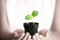 Menschliche Hände, die grüne kleine Anlage anhalten Neues Leben-Konzept Lizenzfreies Stockfoto