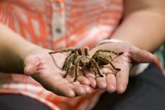 Menschliche Hände, die große Tarantel-Spinne halten stockfoto