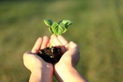 Menschliche Hände, die neues Lebenkonzept des grünen Pflänzchens halten Stockfotografie