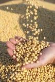 Menschliche Hände, die Sojabohnenölbohnen anhalten Lizenzfreies Stockfoto