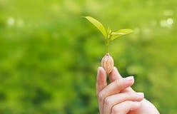 Menschliche Hände, welche die Anlage wächst vom Samen auf grünem Naturhintergrund halten Stockfotografie