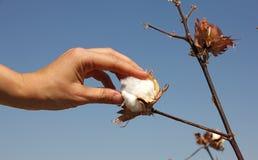 Menschliche Hand berührt eine runde Samenkapsel der reifen Baumwolle Lizenzfreie Stockfotografie