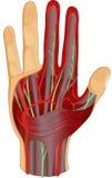 Menschliche Handnerven und -muskel lizenzfreie abbildung