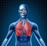 Menschliche Kurve und Atmungssystem lizenzfreie abbildung