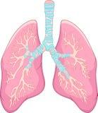 Menschliche Lungenanatomie lizenzfreie abbildung