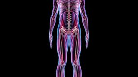 Menschliche männliche Animations-Biologie-Wissenschafts-Technologie der Anatomie-3D lizenzfreie abbildung
