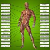 menschliche männliche Anatomie 3D mit den Muskeln und Text Stockbild
