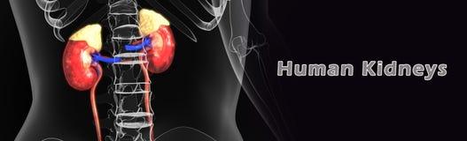 Menschliche Nieren Stockfotografie
