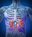 Menschliche Nieren mit dem Skelett Lizenzfreies Stockfoto
