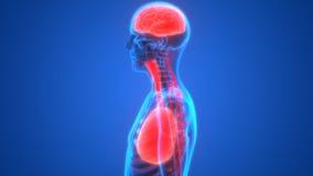 Menschliche Organ-Lungen und Gehirn mit Nervensystem-Anatomie vektor abbildung