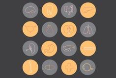 Menschliche Organe - Medizin Stockbild