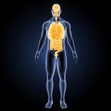 Menschliche Organe mit Körpervorderansicht stock abbildung