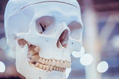 Menschliche Schädelnahaufnahme des weißen Plans, medizinische Ausstellung stockfotografie