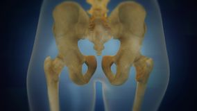Menschliche skeleton Becken- Bereichssichtbarmachung Rückseitige Ansicht lizenzfreie stockfotos