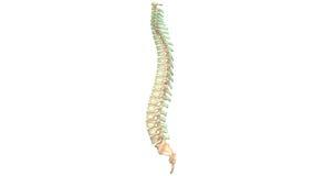 Menschliche Skeleton Rückenmark Anatomie Lizenzfreies Stockfoto