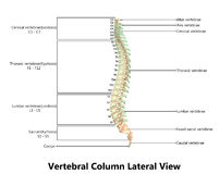 Menschliche Skeleton Rückenmark Anatomie mit ausführlichen Aufklebern Stockfoto
