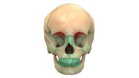 Menschliche Skeleton Schädel-Anatomie Lizenzfreie Stockfotografie