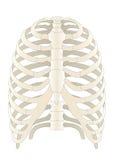 menschliche Skelton Knochen Lizenzfreie Stockfotos