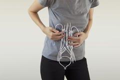 Menschliche weibliche Nieren-Anatomie hob Rotes hervor lizenzfreies stockbild