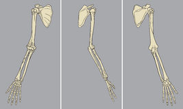 Menschlicher Arm-skelettartiger Anatomie-Satz-Vektor Stockfoto