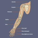 Menschlicher Arm-skelettartiger Anatomie-Vektor Lizenzfreie Stockfotografie