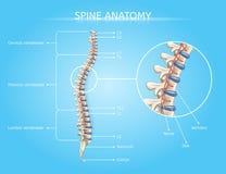 Menschlicher Dorn-Anatomie-Vektor medizinisches Infographic lizenzfreie abbildung