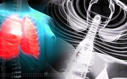 Menschlicher Dorn und weibliche menschliche Lungen stock abbildung