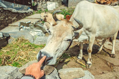 Menschlicher Finger auf Kuhnase auf Hintergrund Vashishy-Dorf lizenzfreie stockfotos